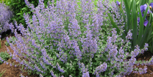 "Catmint — A ""Must-Have"" Perennial"
