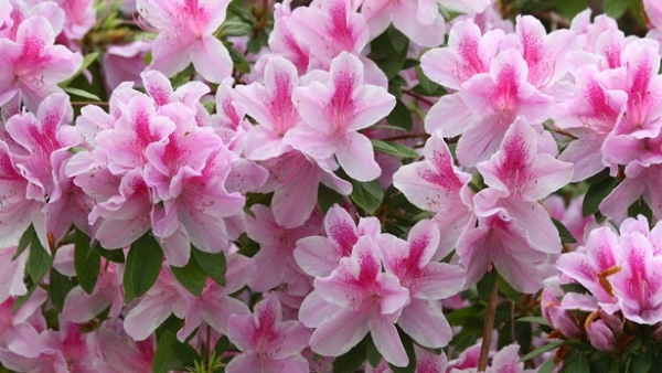 What's So Special About Azaleas and Rhododendrons?