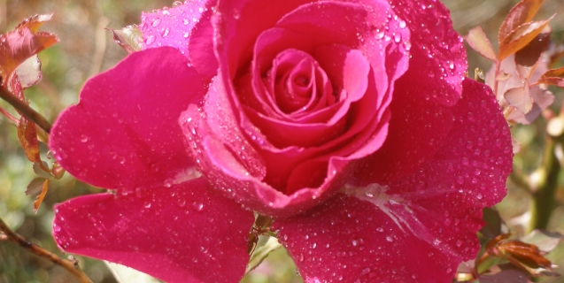 Our National Flower, The Rose