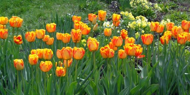 Spring-Flowering Bulbs