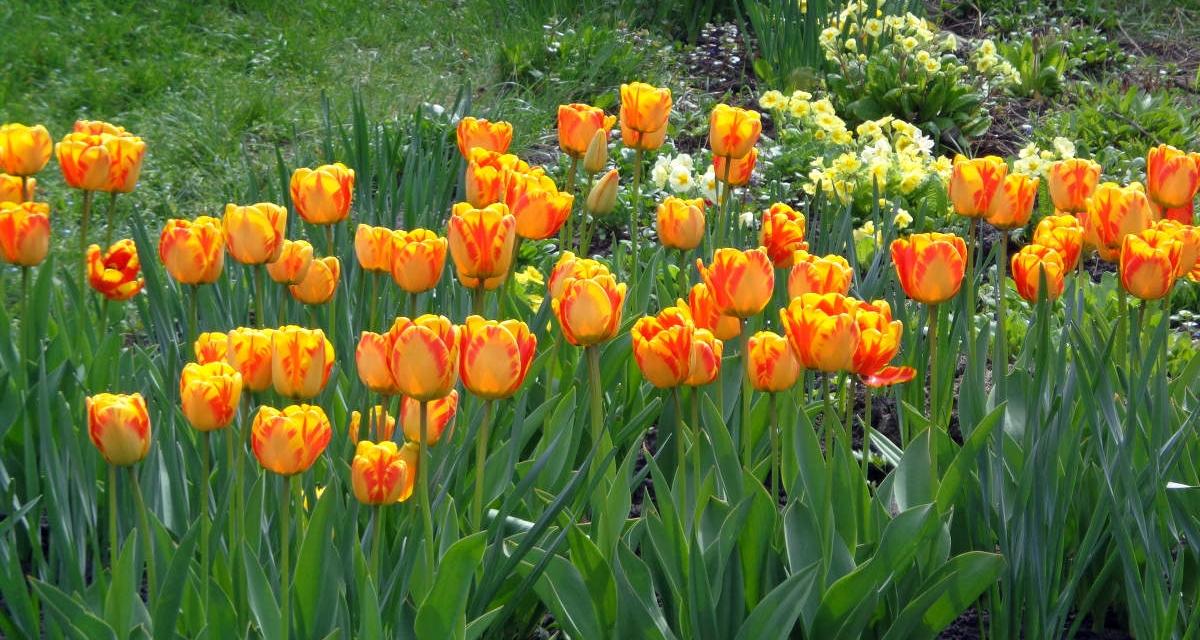 Spring Flowering Bulbs Piedmont Master Gardeners