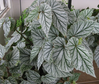 Begonia - Unnamed Cultivar