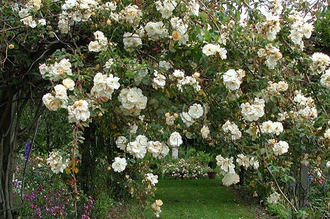 Heirloom or Old Garden Roses