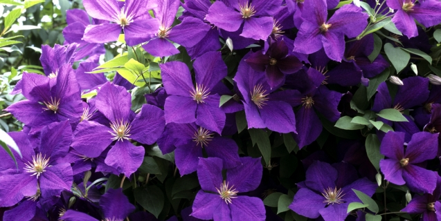 Clematis — Queen of the Vines