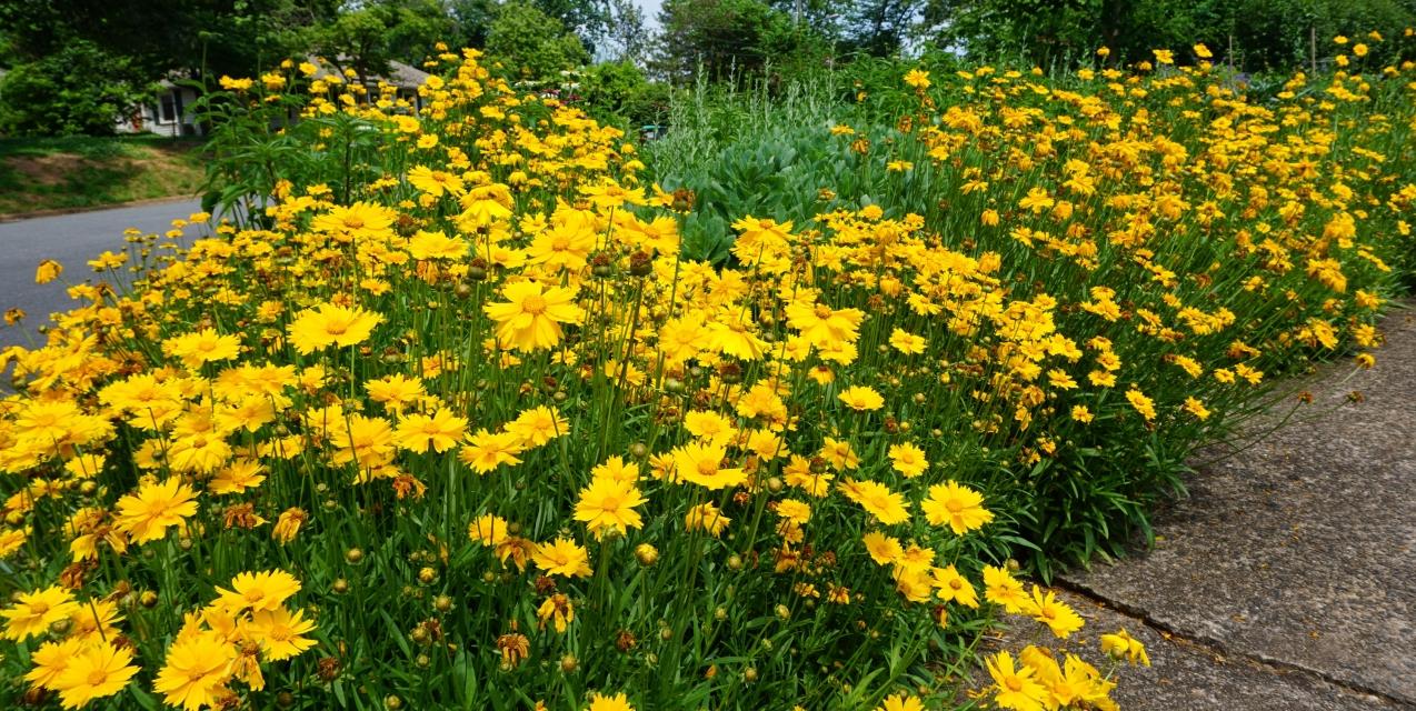 Coreopsis A Top 10 Favorite Piedmont Master Gardeners