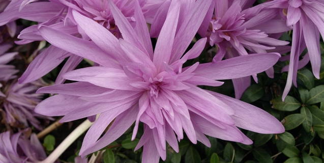 Colchicum and Other Late Season Oddities