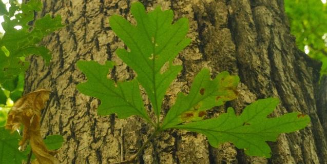 White Oak — A Majestic Native Species