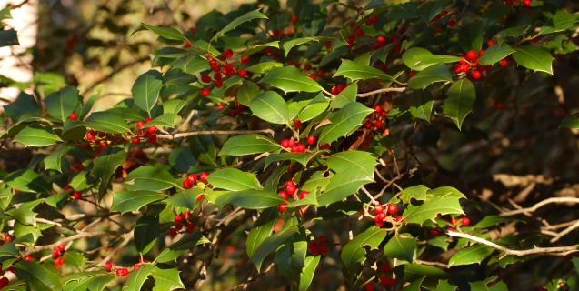 American Holly — More than Just a Holiday Decoration