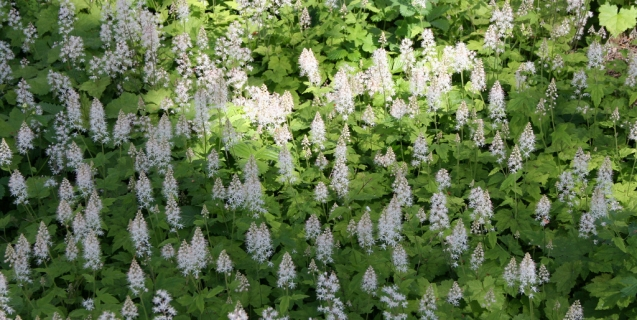 Tiptoeing Through the Tiarella