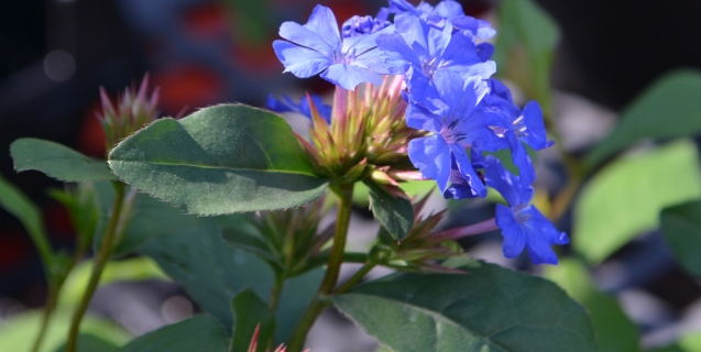 Plumbago — A True Blue Accent in the Sunny Border