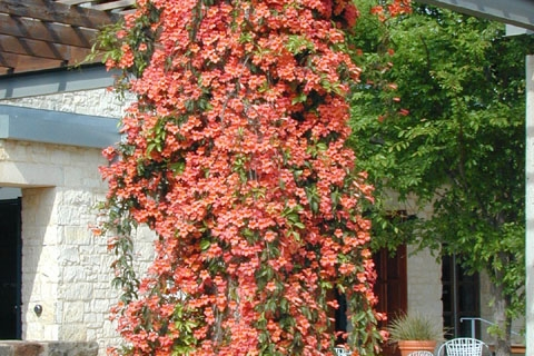Crossvine — A Showstopping Native Vine