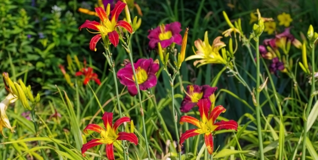 Daylilies piedmont master gardeners - What does it mean to be a master gardener ...