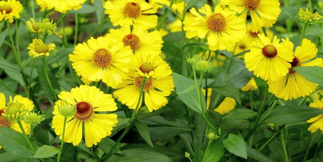 Helenium — A great choice for the late summer garden