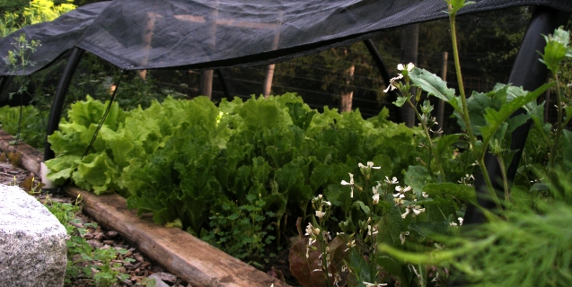 Summer Lettuce…. To grow or not to grow?