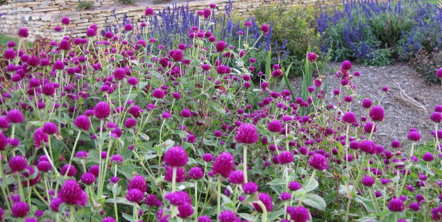 Gomphrena — An Antidote for the Late Summer Garden Blahs