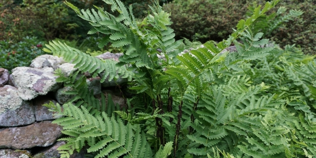 Landscaping With Ferns
