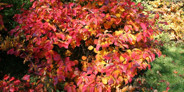 Fothergilla — An Outstanding Choice for Fall Color