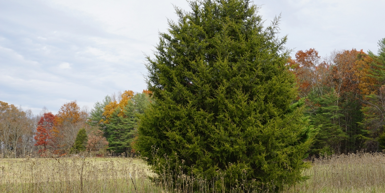 The Pros and Cons of the Eastern Redcedar | Piedmont Master