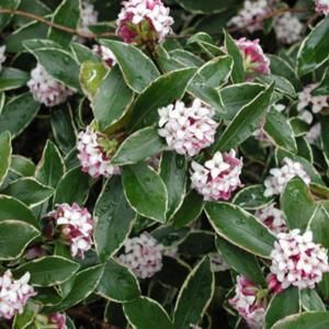 Daphnes — The Hopeful Fragrance of Spring