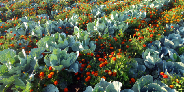 Magical Repelling Powers of Marigolds — Myth or Fact?