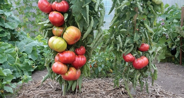 Vegetable Grafting for Healthier Plants and Better Yields