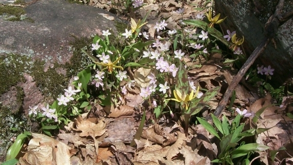 Adding Native Spring Ephemerals to Ornamental Flower Beds