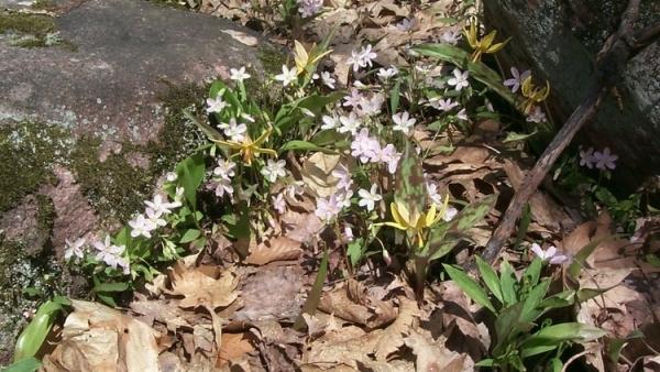 Adding Native Spring Ephemerals to Ornamental Flower Beds