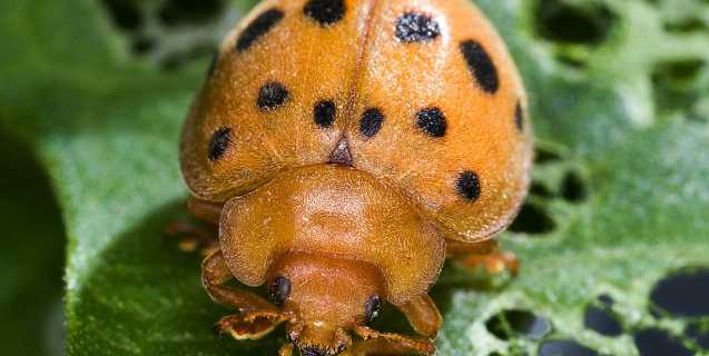 The Mexican Bean Beetle