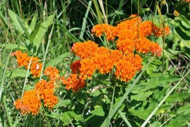 Introducing May-Blooming Natives into Ornamental Gardens