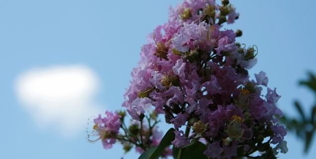 Crape Myrtle – A Southern Icon Gets Even Better