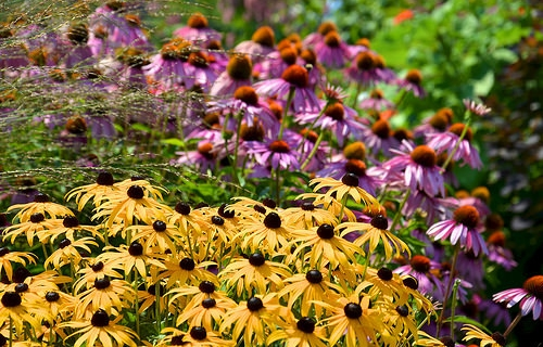 Native Perennials That Bloom in July