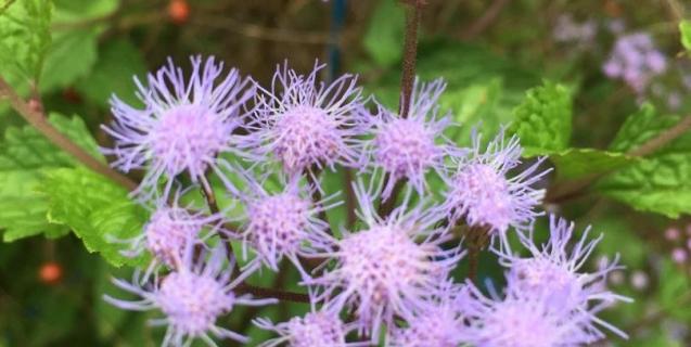September-Blooming Natives for the Ornamental Garden