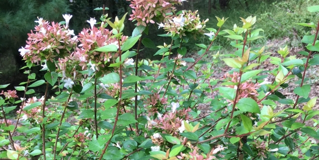 Abelia–Tough But Beautiful