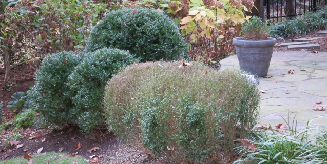 Boxwood Blight Alert
