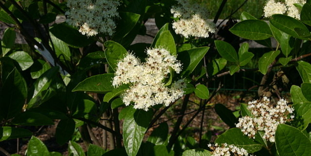 Viburnum–A Shrub for Many Settings