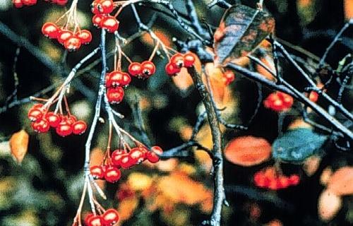 Aronias:  Native Shrubs for Fall Color