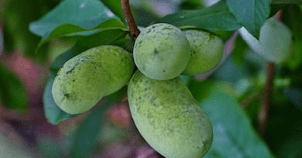 Pawpaws: Resilient, Delectable Natives