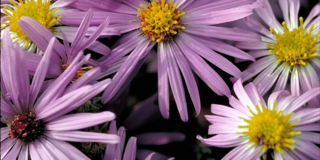 Asters — Color and Life in the Fall Garden