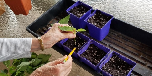 Creating New Plants From Cuttings