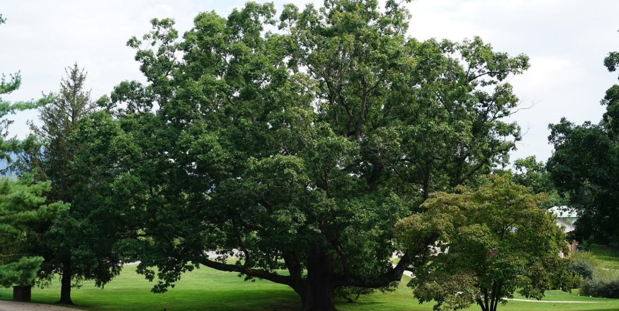 What S Killing Our Oak Trees Piedmont Master Gardeners