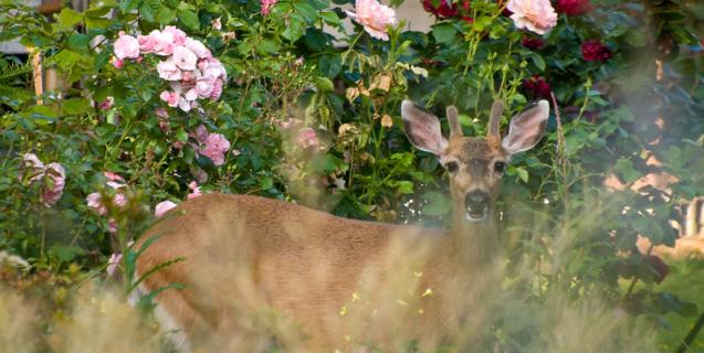 Deer, Deer, Deer!